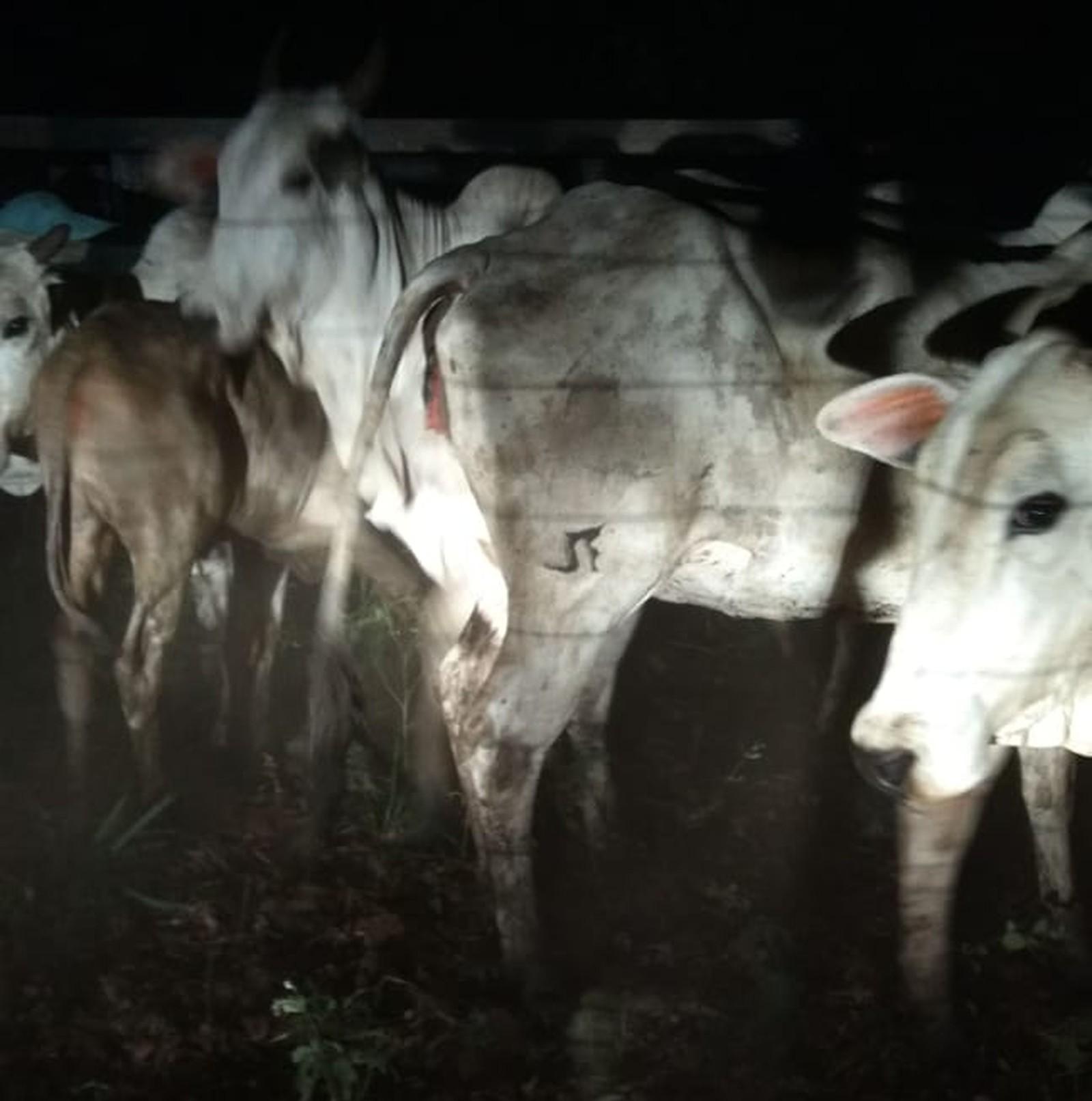 Caminhões são apreendidos e mais de 50 cabeças de gado recuperadas após furto em fazenda