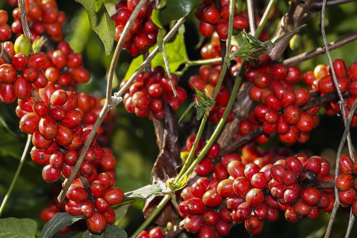 Tecnologia para colheita do café em montanhas causa impacto positivo de R$ 770 milhões