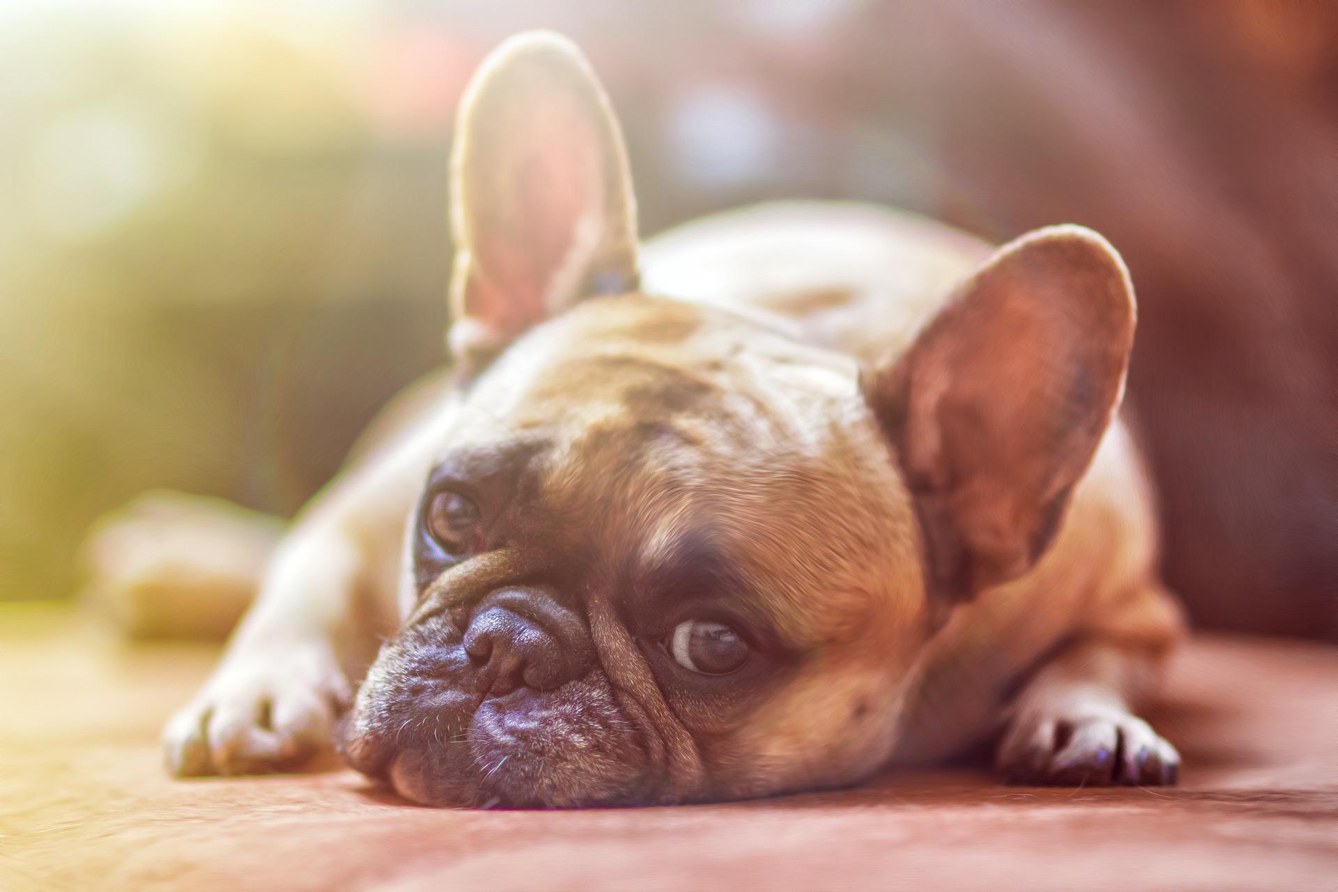 Pet expressivo: conheça os cães que mais falam com os olhos