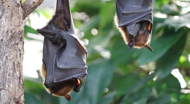 Novo coronavírus pode estar circulando há 70 anos em morcegos