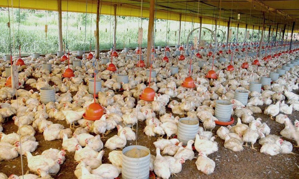 Brasileira é a nova coordenadora do Grupo de Trabalho de Sustentabilidade do Conselho Mundial da Avicultura