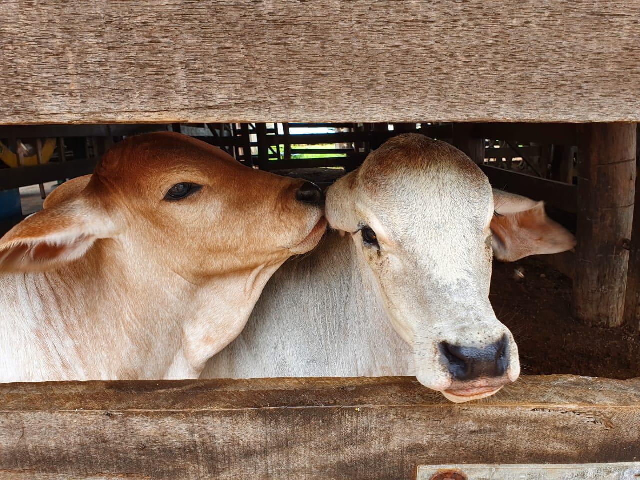 Tocantins se prepara para vacinação do rebanho contra febre aftosa